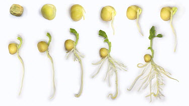 Chinese Snow Pea (Pisum sativum) germination and growth from seed, composite sequence, United Kingdom  -  Kim Taylor/ npl