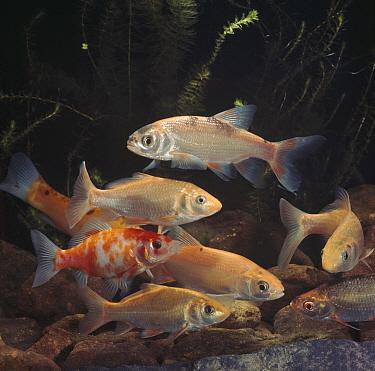 Collection of golden fish, Golden orfe, Ide (Leuciscus idus), Golden tench, Golden rudd (Scardinius sp), Golden carp (Carassius sp) and Goldfish (Carssius auratus), captive  -  Jane Burton/ npl