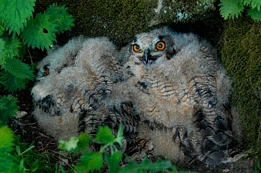 Eurasian Eagle-Owl (Bubo bubo) 21-day chicks, Yorkshire, United Kingdom  -  Mark Payne-Gill/ npl