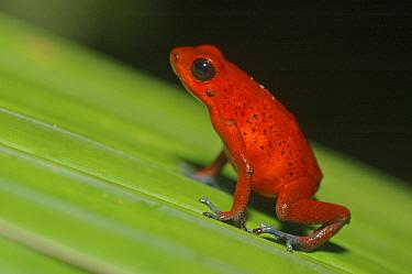 Strawberry Poison Dart Frog (Dendrobates pumilio) on leaf, Costa Rica  -  Edwin Giesbers/ npl