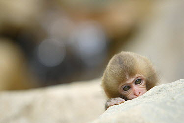Japanese Macaque (Macaca fuscata) baby peering over rock edge, Nagano, Japan  -  Yukihiro Fukuda/ npl
