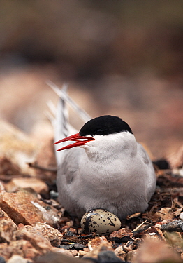 Arctic Tern (Sterna paradisaea) on nest, with egg visible, United Kingdom  -  Steve Knell/ npl