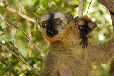 Hybrid Lemur female and young (Eulemur fulvus collaris x Eulemur fulvus rufus), dry forest of Berenty reserve, Madagascar South  -  Jouan & Rius/ npl