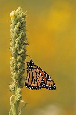 Monarch (Danaus plexippus) on Mullen plant  -  Larry Michael/ npl