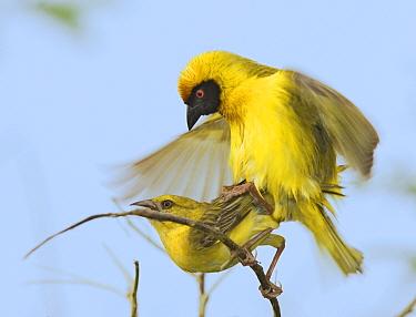 Masked-Weaver (Ploceus velatus) Etosha National Park, Namibia  -  Tony Heald/ npl