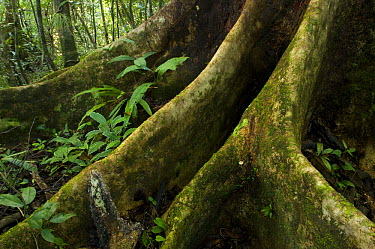 Tree roots in the rainforest, Nosy Mangabe Island, Northeast Madagascar  -  Inaki Relanzon/ npl