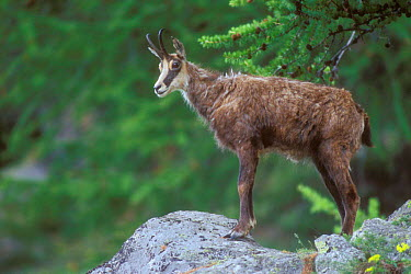 Chamois (Rupicapra rupicapra) in Alpine meadow, Gran Paradiso National Park, Italy  -  Philippe Clement/ npl