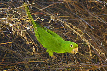 White-eyed parakeet (Aratinga leucophthalmus)  -  Pete Oxford/ npl