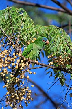 Blue-crowned Parakeet (Aratinga acuticaudata)  -  Luiz Claudio Marigo/ npl