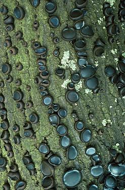Black bulgar, Batchelor's buttons fungus (Bulgaria inquinans) growing on bark of tree, UK  -  George Mccarthy/ npl