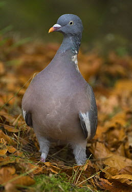 Common Wood-pigeon (Columba palumbus) disturbed from feeding on beech mast, Northumberland, United Kingdom  -  Roger Powell/ npl