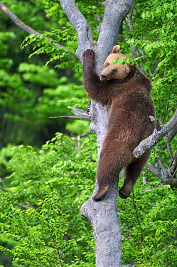 Brown Bear (Ursus arctos) climbing tree, captive, Bavarian forest, Germany  -  Philippe Clement/ npl
