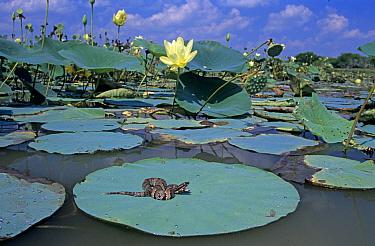 Juvenile Western cottonmouth snake (Agkistrodon piscivorus leucostom) on American Lotus (Nelumbo lutea) lily pad, Welder Wildlife Refuge, Sinton, Texas, USA  -  Rolf Nussbaumer/ npl