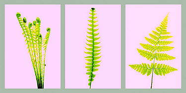 Deer Fern (Blechnum spicant) Ostrich plume (Matteuccia struthiopteris), and Broad buckler fern (Dryopteris dilatata) on pink background  -  Niall Benvie/ npl