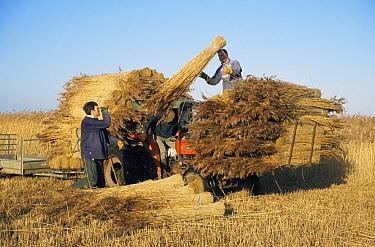 Harvesting reeds, Cley Bird Reserve, Norfolk, UK  -  Martin H Smith/ npl