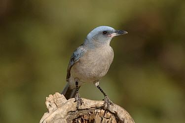 Mexican Jay (Aphelocoma ultramarina) Arizona  -  Dave Watts/ npl