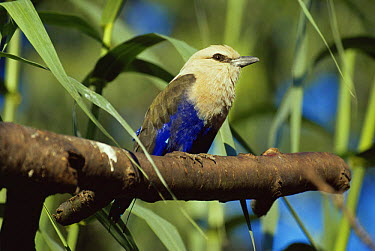 Blue bellied roller (Coracias cyanogaster) captive, from W and C Africa  -  Rod Williams/ npl
