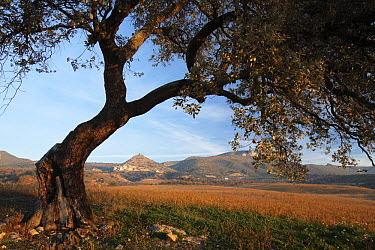 Conca de Tremp landscape viewed from beneath a tree in the Pyrenees mountains, L?rida, Spain  -  Juan Manuel Borrero/ npl