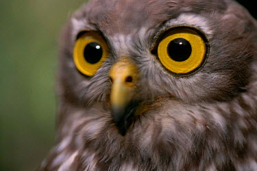 Barking Owl (Ninox connivens) Australia  -  Staffan Widstrand/ npl