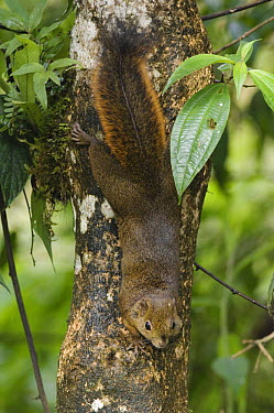 Red-tailed Squirrel (Sciurus granatensis) climbing down tree, Central Valley, Costa Rica  -  Rolf Nussbaumer/ npl