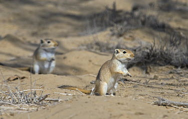Mongolian Gerbil (Meriones unguiculatus) pair, alert and looking out for danger in the Chinese desert  -  George Chan/ npl