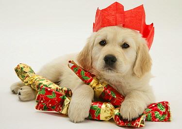 Golden Retriever puppy with Christmas crackers wearing paper hat  -  Jane Burton/ npl