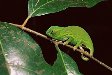 Petter's Chameleon (Furcifer petteri) on foliage, Ankarana Reserve, N Madagascar  -  Pete Oxford/ npl