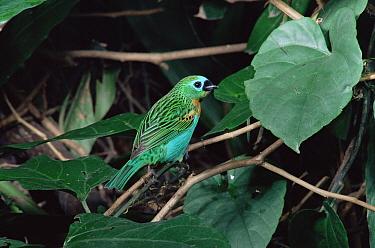 Brassy-breasted tanager (Tangara desmaresti) Brazil  -  Luiz Claudio Marigo/ npl