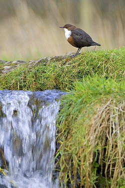 White-throated Dipper (Cinclus cinclus) perching on moss at the top of a small waterfall, Derbyshire, England  -  David Kjaer/ npl