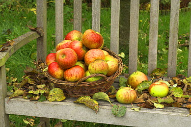 Basket of windfall apples (Malus domesticus) on garden seat with fallen leaves, England, UK, October  -  Gary K. Smith/ npl