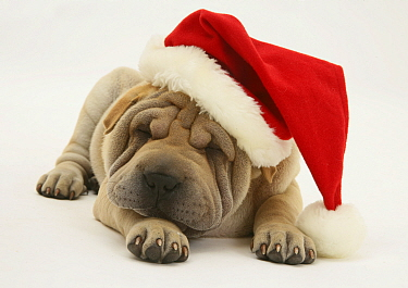 Shar-pei puppy wearing a Father Christmas hat  -  Jane Burton/ npl