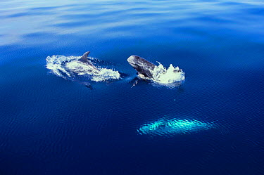 Risso's Dolphin (Grampus griseus) at surface Ligurian Sea, Italy  -  Todd Pusser/ npl