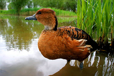 Fulvous Whistling Duck (Dendrocygna bicolor) at water's edge near reeds, captive, Somerset, United Kingdom  -  John Waters/ npl