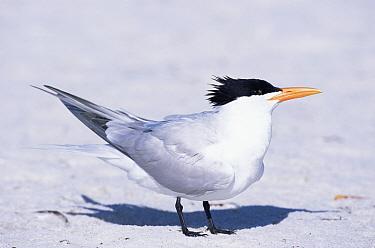Royal Tern (Sterna maxima), Florida  -  Lynn M. Stone/ npl