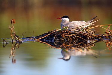 Whiskered tern (Chlidonias hybrida) sitting on nest, Donana NP, Sevilla, Spain  -  Jose B. Ruiz/ npl