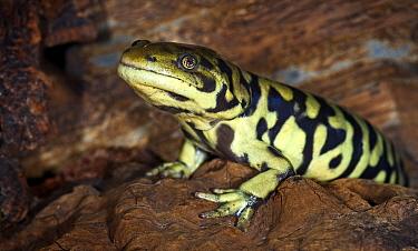 Eastern Tiger Salamander (Ambystoma tigrinum) captive, from USA  -  Michael D. Kern/ npl