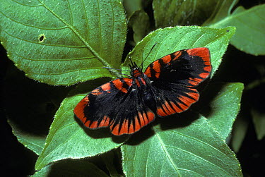 Blood-red skipper butterfly (Haemactis sanguinalis) in rainforest, Peru  -  Premaphotos/ npl