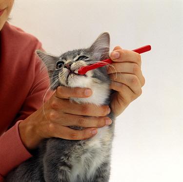 Domestic Cat (Felis catus) Grey Burmese-cross kitten with handler cleaning teeth using toothbrush  -  Jane Burton/ npl