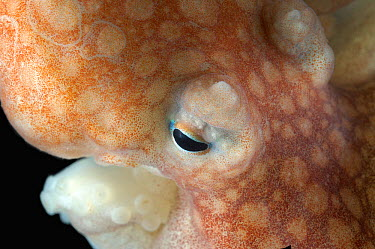 Close up of eye of Arctic Octopus (Bathypolypus arcticus) benthic, Barents sea, Northern Europe  -  David Shale/ npl