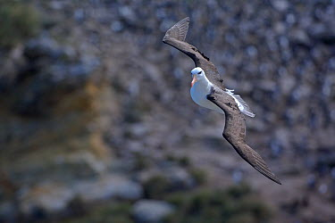 Black-browed albatross (Thalassarche melanophrys) in flight New Island, Falkland Islands  -  Chris Gomersall/ npl