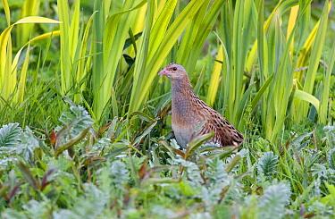 Corncrake (Crex crex) in vegetation, North Uist, Outer Hebrides, Scotland  -  David Kjaer/ npl