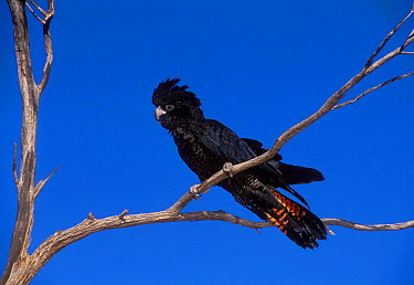 Red-tailed Black-Cockatoo (Calyptorhynchus banksii) South Australia  -  Dave Watts/ npl