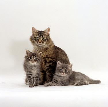 Domestic Cat (Felis catus) fluffy tabby with her two kittens  -  Jane Burton/ npl