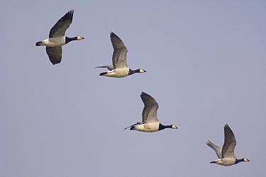 Barnacle Goose (Branta leucopsis) in flight, Norfolk, United Kingdom  -  Chris Gomersall/ npl