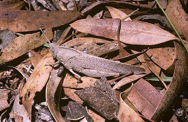 Gum leaf grasshopper (Goniaea australasiae) camouflaged among fallen Eucalyptus leaves, Australia  -  Premaphotos/ npl