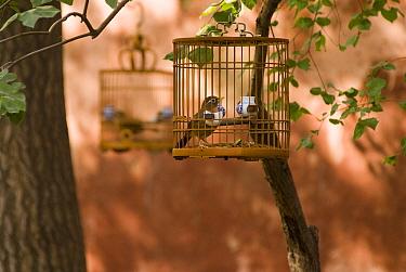 Laughing thrush, Hwamei (Garrulax canorus) in birdcages, Beijing Forbidden City, November 06 'Wild China' series  -  Gavin Maxwell/ npl