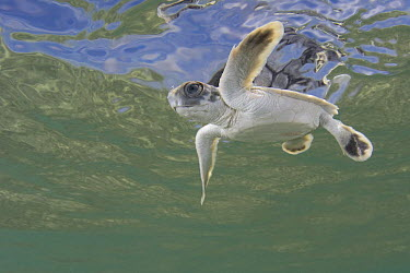 Australian flatback sea turtle (Natator depressus) hatchling swimming out to sea from nesting beach, Torres Strait, Queensland, Australia, captive release programme  -  Doug Perrine/ npl