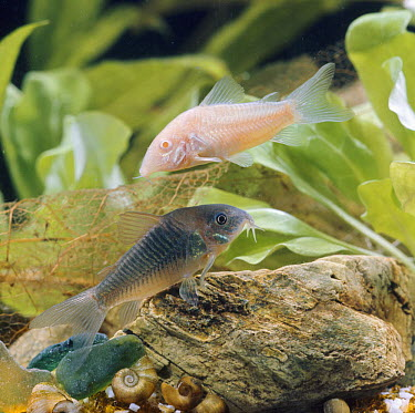 Bronze armoured catfish (Corydorus aeneus) albino and normal colour variants, captive, from South America  -  Jane Burton/ npl