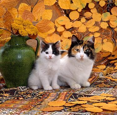 Domestic Cat (Felis catus) Tortoiseshell-and-white mother with her Black-and-white kitten  -  Jane Burton/ npl