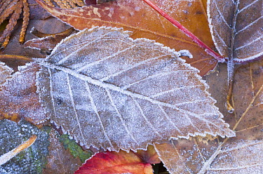 Frost on fallen Paper Birch Leaf, Washington, USA  -  Rob Tilley/ npl